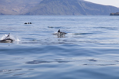 Dolphins off Rum (P_L_Wood) Tags: scotland dolphin dolphins minch canna hebrides porpoise commondolphins delphinusdelphis rum