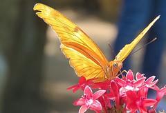 Julia longwing butterfly (avilacats) Tags: