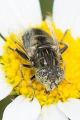 Hoverfly- Eristalinus sepulchralis (linanjohn) Tags: uk macro nature wildlife insects lincolnshire syrphidae diptera hoverflies eristalinussepulchralis eristalinae snakeholmepit