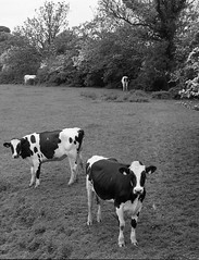 Black and White (Man with Red Eyes) Tags: monochrome field analog zeiss blackwhite cows farm rangefinder lancashire m6 leicam6 100iso homedeveloped adox silverhalide td201 silvermax anchelltroop a3minsb3mins continuousagitation distagont1435zm