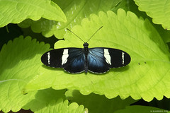 Butterfly 2016-71 (michaelramsdell1967) Tags: blue light white plant color macro green love nature beautiful beauty animal animals closeup butterfly bug garden insect hope spring nikon natural vibrant butterflies vivid insects bugs zen upclose
