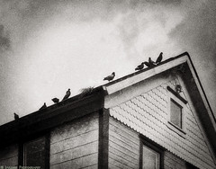 The Birds (mjardeen) Tags: windows roof blackandwhite bw white house abstract black mamiya birds architecture lens washington nest outdoor sony creepy 55mm m42 wa tacoma f18 standard a7ii sekor mamiyasekor55mmf18 a7m2 tonalitypro ilce7m2
