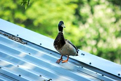 Duck on a Hot Tin Roof (Squatbetty) Tags: roof canal duck daft saltaire leedsliverpoolcanal