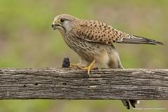 Peneireiro Vulgar, Common Kestrel (Falco tinnunculus) (nuno.xavier@moreira) Tags: wildlife ngc liberdade xavier nuno falcotinnunculus commonkestrel eurasiankestrel moreira peneireirovulgar commonkestrelfalcotinnunculusemliberdadewildlifenunoxavierlopesmoreira