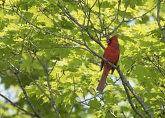DSC_1581 - Cardinal (tonybatal) Tags: red bird cardinal