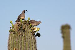 Gambel's Quail (Callipepla gambelii) (Scott Olmstead) Tags: cactus naturaleza nature birds pareja pair aves pjaros saguaro passaros codorniz odontophoridae saguaroflowers