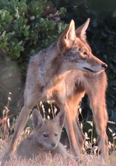 Prince Geogre and son (FluffyPuppiesMosaics) Tags: ca dogs wildlife redding turtlebay coyotes sundialbridge coyotepups tracihallstrom pupsplaying coyotepack fluffypuppiesmosaics riverknolls riverknollscondos
