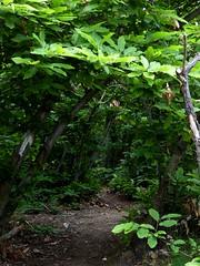 sentieri tra i castagni (fotomie2009) Tags: wild italy verde green primavera nature spring italia path liguria sentiero printemps conca savona castagno