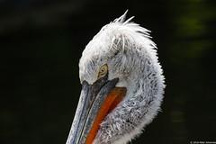 Krauskopfpelikan (Bumbus) Tags: platinumheartaward allnaturesparadise