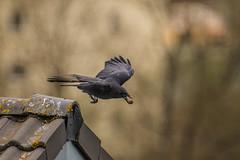 Black Raven (Alias_Axel_Ryder) Tags: roof 6 black alex canon eos d top w sharp plates axel ryder raven dach unscharf schwarz rabe unsharp platten scharf dachplatten