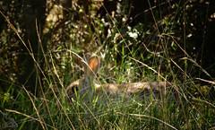 Conejo paseando por la lama // Rabbit walking through the grass {Oryctolagus cuniculus} (Cazadora de Fotos) Tags: wild naturaleza fauna conejo free natura animales hierba rabits salvajes iberica oculto conejos ibericos oryctolagus cuniculus