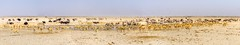 DSC00892-20150925-Pano-2 (C&P_Pics) Tags: panorama birds na zebra namibia scenes ostriches oryx springbok burchellszebra etoshanationalpark oshana bluewildebeast hartmansmountainzebra okaukuejocamptodolemitecampandhobarterelodge