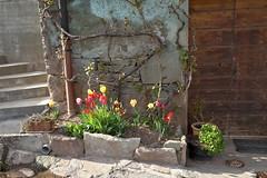Tulipes de printemps (Chemose) Tags: flower fleur canon eos spring tulip 7d april avril printemps tulipe hautesavoie ayse