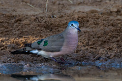 Emerald Spotted Wood-dove, Kameel, Limpopo, May 2016 (roelofvdb) Tags: place dove year january date 2016 358 kameel emeraldspottedwooddove southernafricanbirds doveemeraldspottedwood