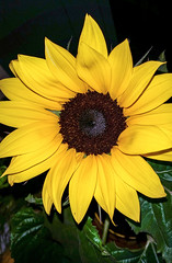 Atlantico mit Sonnenblume (eagle1effi) Tags: flower macro minimal sunflower s5 atlantico damncool ergenzingen naturemasterclass