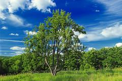 Sugarcamp Mountain (3) (Nicholas_T) Tags: trees summer sky nature field grass clouds pennsylvania meadow cumulus publicdomain endlessmountains freephoto freeimage loyalsockstateforest lycomingcounty cc0 sugarcampmountain sugarcampmountainroad