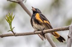 Because... (Wes Iversen) Tags: chicago nature birds illinois wildlife americanredstart setophagaruticilla specanimal montrosepointbirdsanctuary tamron150600mm