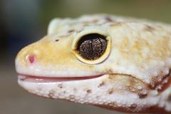 Darwin (Charlotte's wild world) Tags: macro eye reptile wildlife leopard gecko herp leopardgecko