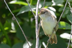 Reed Warbler Upton NWT a (JohnMannPhoto) Tags: upton nwt norfolk