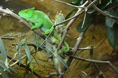 Chester Zoo (100) (rs1979) Tags: zoo chester chameleon chesterzoo parsonschameleon tropicalrealm
