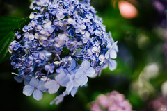 (yasu19_67) Tags: blue japan 50mm bokeh blossoms atmosphere contax hydrangea digitaleffects photooftheday filmlook filmlike vsco carlzeissplanar50mmf14 sony7ilce7