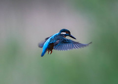 Kingfisher Male  Alcedo atthis 001-1 (cwoodend..........Thanks) Tags: brandon kingfisher wwt hovering 2016 alcedoatthis brandonmarsh warwickshirewildlifetrust kingfishermale kingfisherhovering