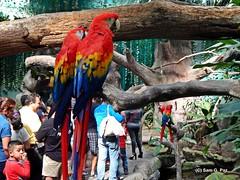DSCN6314 Guacamayas (Sam G. Paz) Tags: naturaleza animal mxico aves acuario paisajeurbano veracruzver 151229 samgpaz