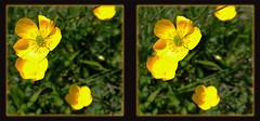 Why Do You Build Me Up Buttercup . . . - Crosseye 3D (DarkOnus) Tags: flowers wild flower macro closeup stereogram 3d crosseye phone buttercup pennsylvania cell stereo stereography buckscounty huawei crossview mate8 darkonus