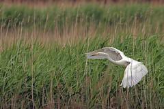 Great white Egret (Ady G.) Tags: bird canon reeds wildlife somerset greatwhiteegret 1d4 hamwall 500f4