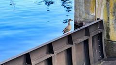 Duck on Flood Gate Door (mightyquinninwky) Tags: seattle bird water duck washington lock dam floodgate aquaticlife seattlewashington aquaticbird hirammchittendedlock