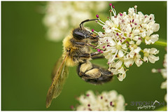 A Bees Work is Never Done (Sharon Dow Photography) Tags: uk wild summer england flower nature rural sussex countryside wings nikon feeding westsussex britain head wildlife ngc reserve insects bee honey nectar pollen horsham honeybee naturalworld antennae thorax cowparsley flowerhead apis busybee abdomen 2016 springwatch flyinginsects apismellifera d7100 nikond7100 sharondowphotography june2016 warnhamnature
