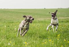 A Whole lot of Fun :) (Darren Cordingley) Tags: chien pets dogs animals hund fields wildflowers mansbestfriend hounds rspca salisburyplains greatdanes nikond800 sigma150600mmsport