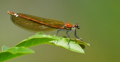 alta moda... (andrea.zanaboni) Tags: red macro colors nikon colore dragonfly ngc insects rosso insetti libellula