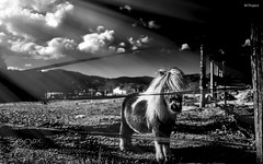 My little pony (SeattleHVAC172) Tags: leica italy white black primavera nature spring little bn pony photograph hourse my