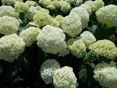 Summer (Ferencdiak) Tags: white hungary budapest virág margitsziget nyár növény fehér