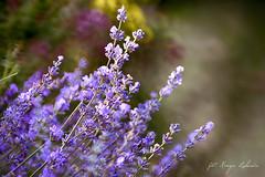 Lavender (kinga.lubawa) Tags: flowers flower colors canon kwiaty kwiat kolory lato kolorowe lawenda lawendowy lawendowe