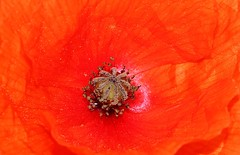 Poppy 070616 (1) (Richard Collier - Wildlife and Travel Photography) Tags: flowers red macro closeup flora naturalhistory poppy poppies wildflowers flowersenglishflowers