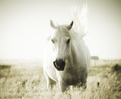 (Chains of Pace) Tags: horse oklahoma animal rural candid country prairie panhandle