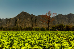 A red tree in a green field (terry111) Tags: tree field green red cliffs asia landscape laos countryside