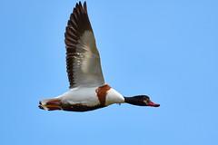 Tadorne de Belon (femelle) (ijmd) Tags: bird oiseau france bretagne ledebatz