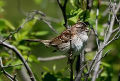 White-throated Sparrow, Gander Burner Hill (frank.king2014) Tags: ca canada whitethroatedsparrow benton newfoundlandandlabrador