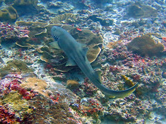 Brown-banded Bamboo Shark (Petter Thorden) Tags: indonesia diving