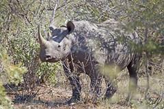 Hook-lipped (Black) Rhino- Kruger National Park, South Africa (wsweet321) Tags: africa bird nature southafrica mammal birding safari research endangered krugernationalpark kruger satara bigfive skukuza knp lowersabie