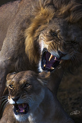 wild love (AYMAN-ALKANDERI) Tags: africa wild love forest cat kenya lion jungle mara massai ayman    alkanderi  alkandari