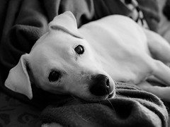 Nokie (Night-thing) Tags: dog white terrier jackrussell nokie