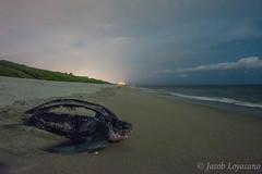 Leatherback Sea Turtle (Dermochelys coriacea) (JLoyacano) Tags: ocean beach turtle seaturtle nesting leatherback leatherbackseaturtle dermochelys dermochelyscoriacea jacobloyacano leatherbacknesting