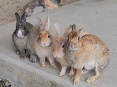 B6250676 (VANILLASKY0607) Tags: rabbit bunny bunnies nature animal japan photo wildlife wildanimal hydrangea rabbits rabbitisland wildrabbit okunoshima