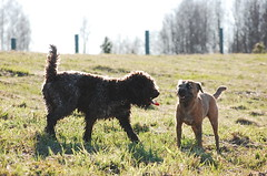 DSC_0174 (juliapee) Tags: dogs spring borderterrier dogsplaying lagotto romangolo