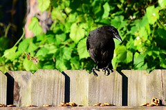 Let's see now...which one...? --- #3 in a series (Zoom Lens) Tags: bird birds intelligence sacred mystical crow spiritual crows corvid avian intelligent corvids johnrussellakazoomlens copyrightbyjohnrussellallrightsreserved crowlife