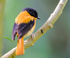 Black and Orange FlyCatcher (Aravind Venkatraman) Tags: morning orange india black bird birds nikon indian birding 300mm national dslr aravind birdwatching f4 birder ooty nationalgeographic flycatcher nilgiris birdphotography 14tc ficedula nikondslr birdsindia indiabirds incredibleindia indianbirds birdphotographer dslrnikon nikon300mmf4 avphotography blackandorangeflycatcher ficedulanigrorufa nikon14tc d7000 nigrorufa nikond7000 d7000nikon aravindvenkatraman